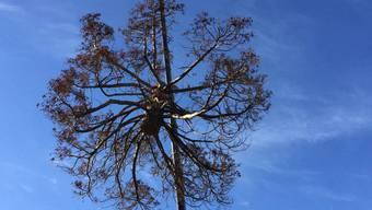 Stück für Stück fällen die Spezialisten den riesigen Baum.