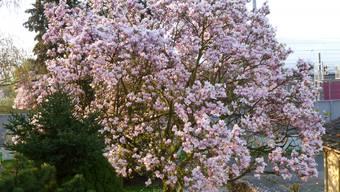 Magnolienbaum aus meinem Garten Eden.