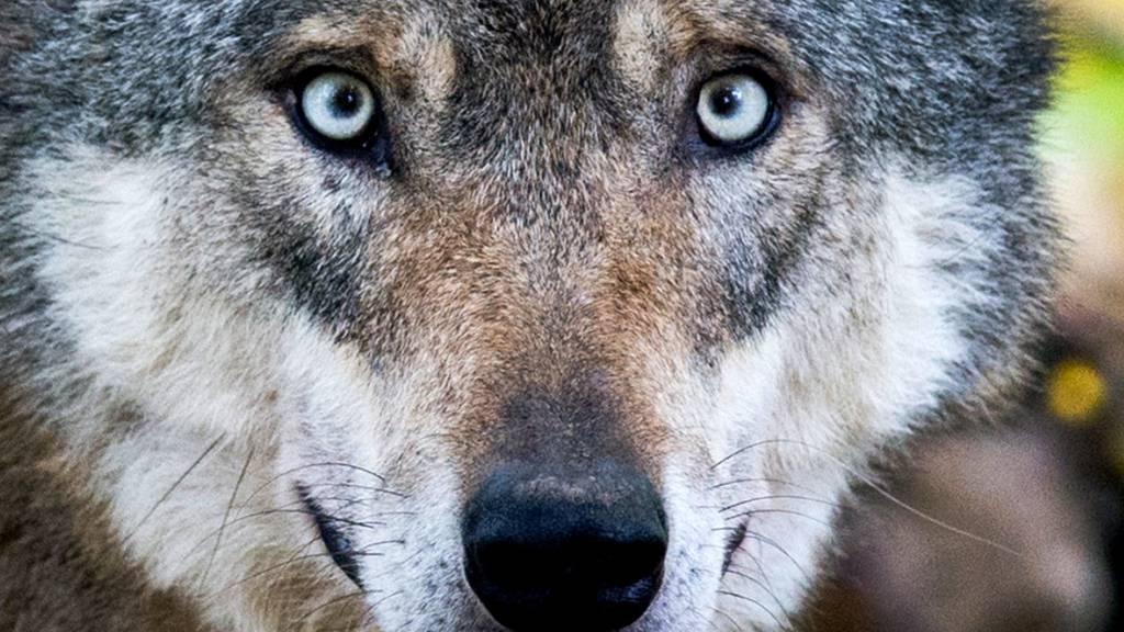 Der Bund lehnte ein Gesuch des Kantons Graubünden zur Regulierung der Wölfe am Mittelbündner Piz Beverin ab (Themenbild).