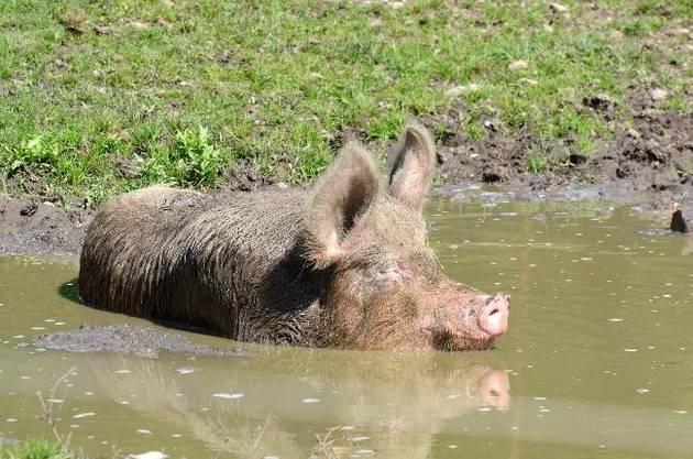 So schützen sich Tier vor Hitze: Das Hausschwein kühlt sich in der Suhle ab und schützt sich mit dem Schlamm zusätzlich vor der Sonne.