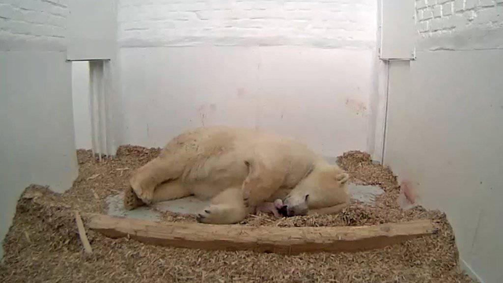Eisbärenmutter Tonja im Tierpark Berlin kümmert sich um ihr wenige Tage altes Jungtier.