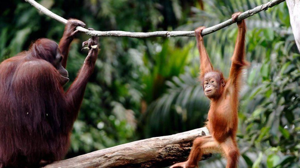 500 Orang-Utans wurden bislang mit Atemwegserkrankungen in einem Rehabilitationszentrum behandelt. (Archivbild)