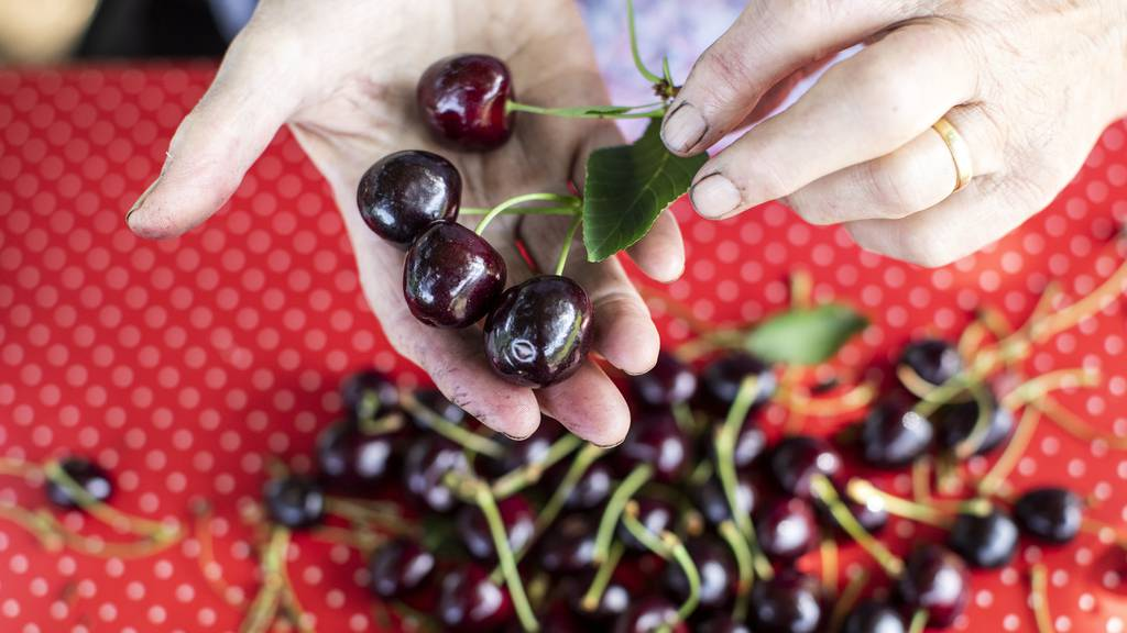 Milder Winter und gutes Wetter: Schweizer Obstverband erwartet eine gute Kirschernte