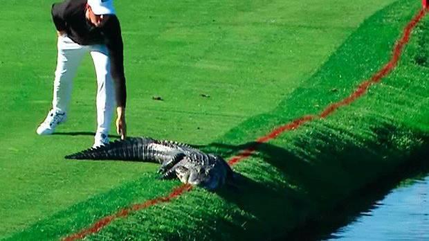 Der Golfer hatte keinen Bock auf den Aligator zu warten.
