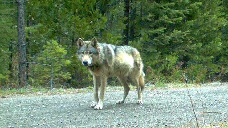 Ein Wolf in freier Wildbahn.