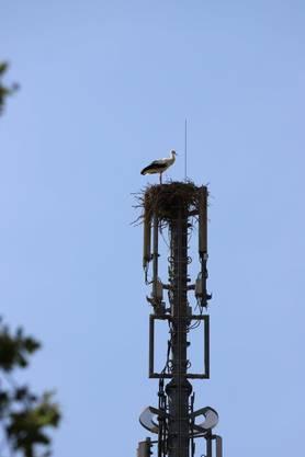 Die Nistarbeit der Vögel verdreckte die darunter liegende Antenne mit Kot, Gewölle und anderem Material.