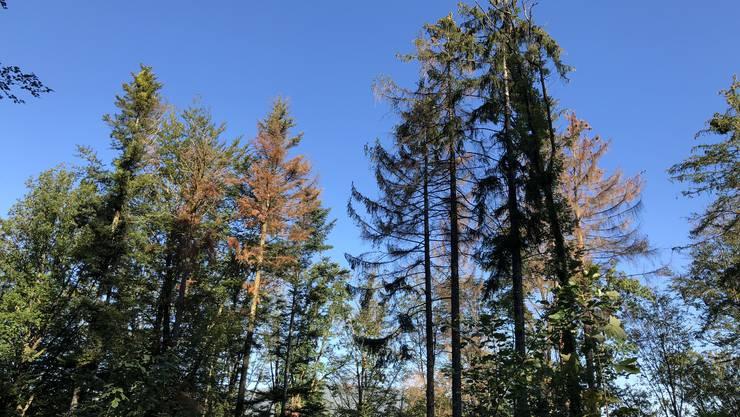 Die Baumkronen im Niederämter Wald haben sich bereits verfärbt. Viele Buchen werfen schon jetzt ihr Laub ab.
