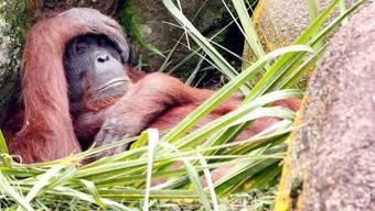 Ein Orang Utan in einem Zoo (Symbolbild)
