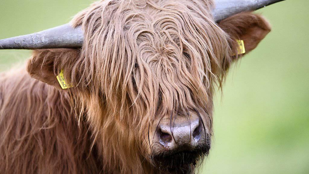 Hochlandrinder haben andere Fressgewohnheiten als produktionsorientierte Rinderrassen. Über ihr Fell verbreiten sie zudem Samen. Das prägt die Vegetation auf Weiden. (Archivbild)