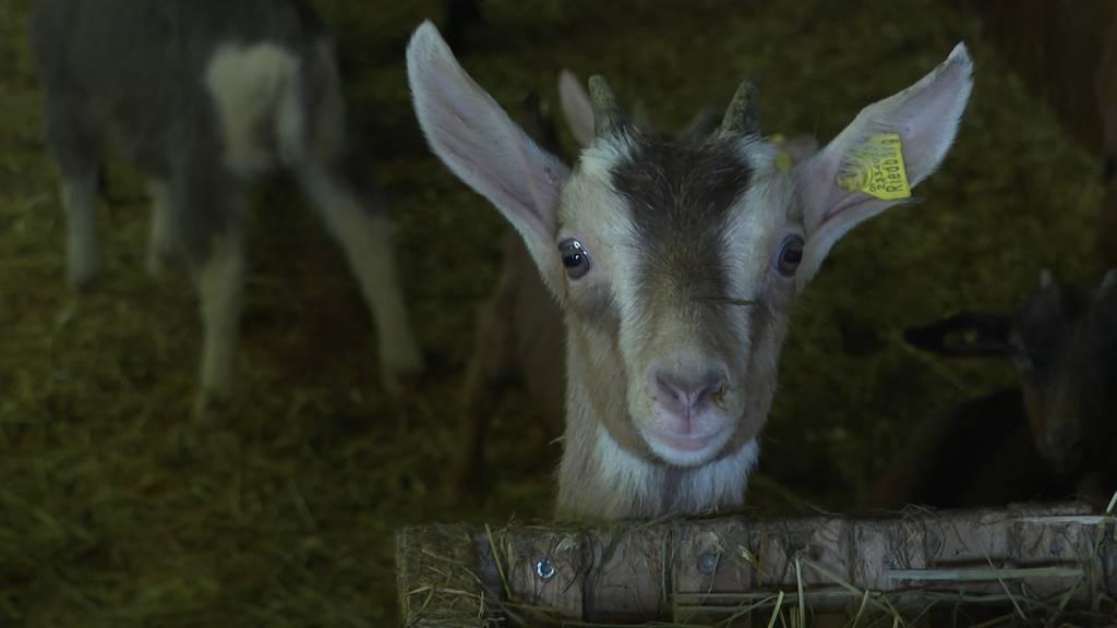 Tierische Beute in Ranflüh (BE): 26 Gitzi aus Stall gestohlen