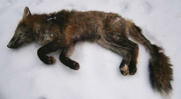 Ein an der Fuchsräude verendetes Tier. (Symbolbild)
