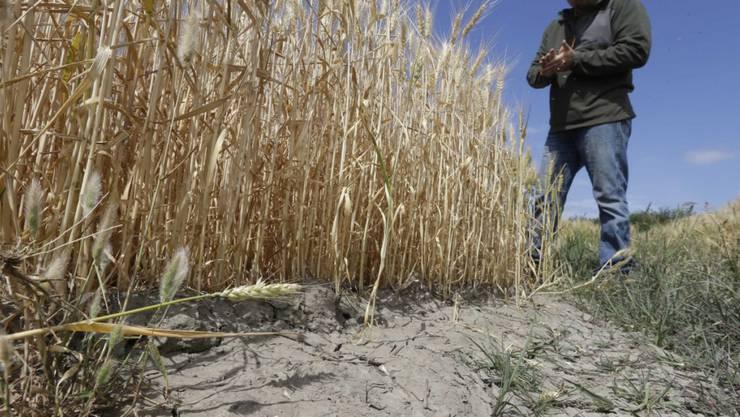 Ausgetrocknerter Boden eines Getreidefeldes bei Stockton in Kalifornien Ende Mai. Der Bundesstaat leidet unter einer lange anhaltenden Dürre. (Archiv)