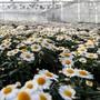 Diese blühenden Margeriten werden wohl nie verkauft werden. 30'000 Menschen fordern nun via Petition die Öffnung der Blumenläden und Gartencenter. «Blumen gehören zur Grundversorgung», sagen sie.