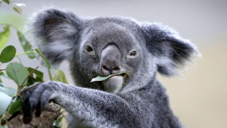 Ein Koala kaut auf einem Eukalyptusblatt herum. Ein millionenschweres Programm soll die bedrohten Bären in Australien besser schützen. (Archiv)