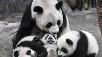 Panda-Mutter Ju Xiao spielt mit ihrem Nachwuchs im Chimelong Wildlife Park im südchinesischen Guangzhou: Wie Wissenschaftler herausfanden, paaren sich Pandas lieber mit Partner, die sie selber ausgewählt haben (Archiv).