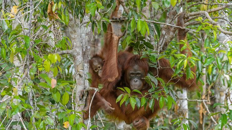 Der Fortbestand der Orang-Utans ist stark gefährdet, denn jährlich wird auf Borneo Regenwald im Umfang der halben Schweiz zerstört und damit die Lebensgrundlage dieser faszinierenden Tiere vernichtet.