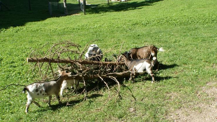 Im Gehege der Stadt Rheinfelden sind innert eines Jahres drei erwachsene Tiere und drei Kitze gestorben. ach/Archiv