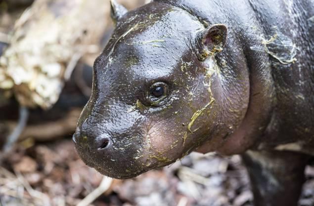 In den letzten rund 15 Jahren hat es im Zoo Basel nur zweimal Nachwuchs bei den Zwergflusspferden gegeben.