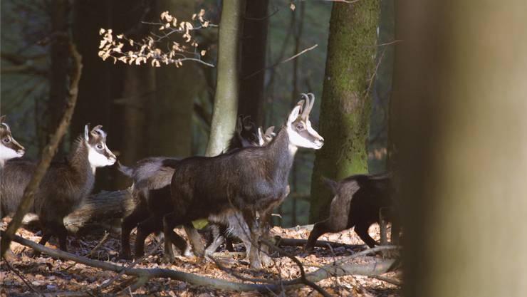 Der einzige tierische Feind der Gämsen im Jura ist der Luchs. Und der Mensch, der jedes Jahr in die Population eingreift.