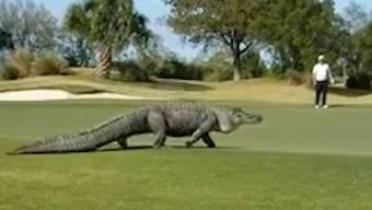 Sehen Sie hier das Video zum Monster-Alligator.