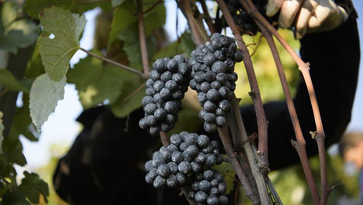 Die französische Weinernte liegt weit unter dem Durchschnitt. Das Wetter setzte den Trauben zu. (Symbolbild)