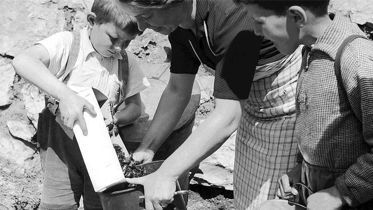 Kinder trugen kesselweise landauf, landab die Käfer zusammen. Symbolbild aus dem Jahre 1949.