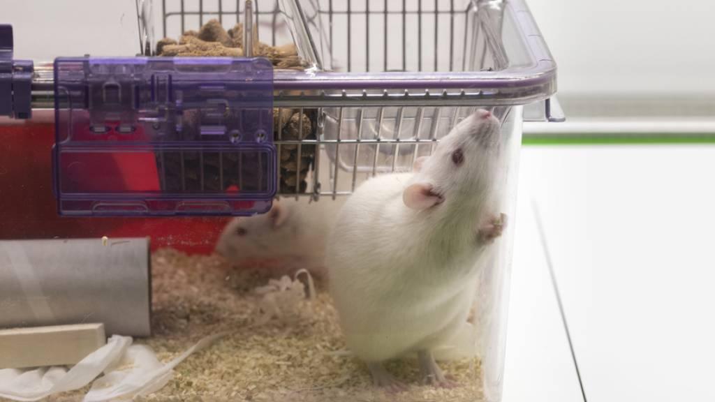 Auch Ratten helfen in Gegenwart von passiven Zuschauern nicht