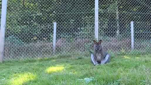 Känguru aus Gränichen schnupperte den Duft der Freiheit