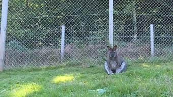 Das Wallaby büxte am Dienstagmorgen aus und ging auf Wanderschaft. Der kleine Unruhestifter ist wohlbehalten zu seinem Halter zurückgebracht worden.