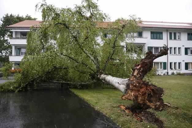 Eine Birke, die von einer Sturmböhe umgerissen wurde, liegt in einem Garten im Berner Rossfeld-Quartier.