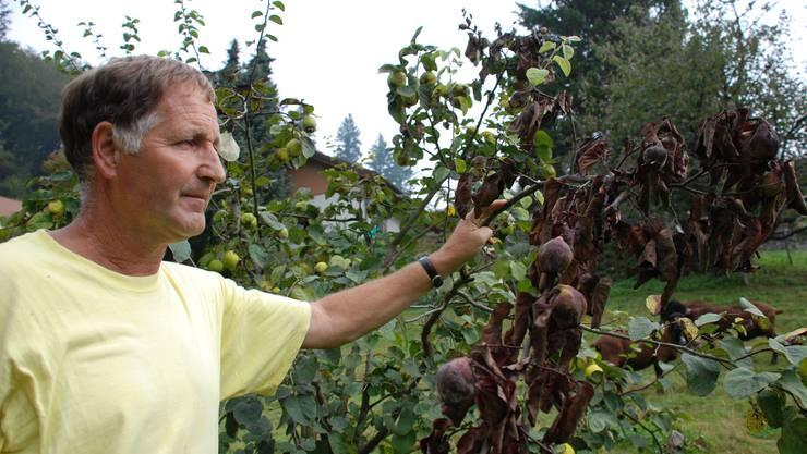 Quittenbäume sind besonders anfällig: Willy Lüscher bekämpft den Feuerbrand in Schlossrued. (Bild: Irena Jurinak)