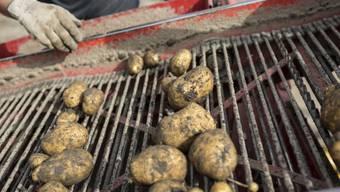 Landwirtschaftsarbeiter sortieren auf dem Förderband Kartoffeln aus. (Symbolbild)