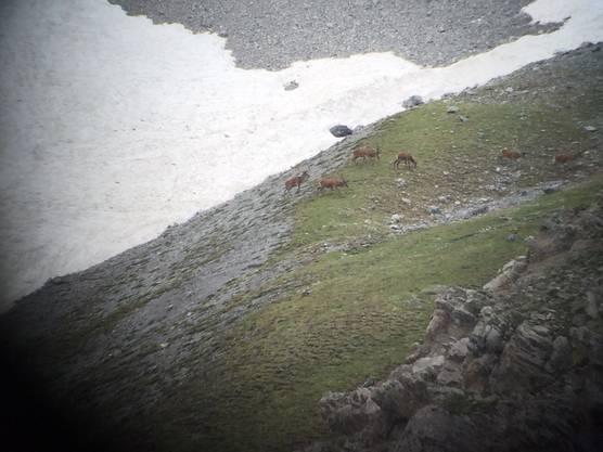 Mit blossen Auge kaum zu erkennen, wohl aber beim Blick durch das Fernglas: Hirsche im Val Foraz, kurz nachdem sie über ein Schneefeld gelaufen sind.