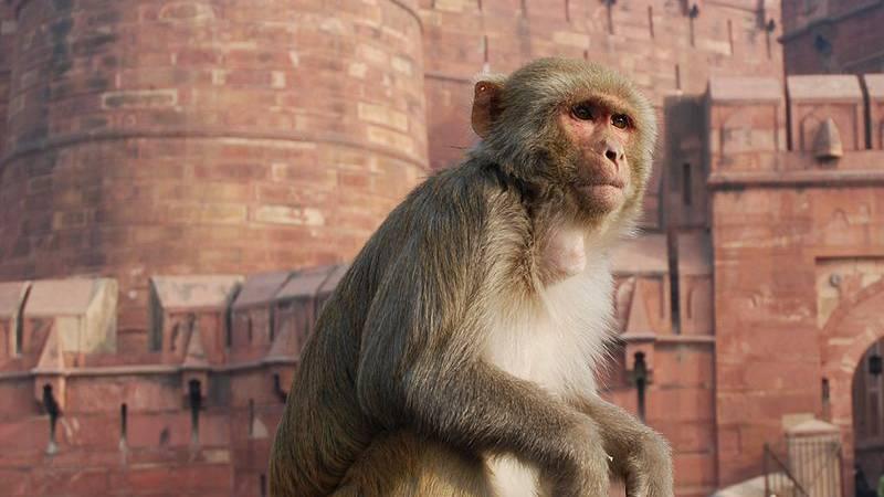 Uni und ETH Zürich wollen wieder Affenversuche