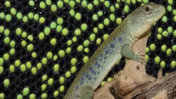 Das Hautmuster der Perleidechse setzt sich Schuppe für Schuppe zusammen. Dahinter steckt verblüffende Mathematik.