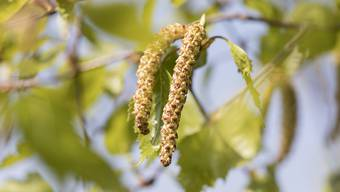 Die Blütenkätzchen der Birke sind ein Zeichen des Frühlings. Für Allergiker bedeuten sie aber auch Nasenkitzeln und brennende Augen. (Symbolbild)