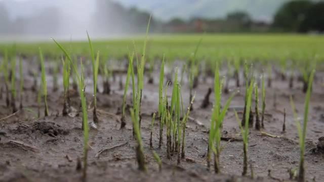 Tessin: So wird Schweizer Reis angebaut