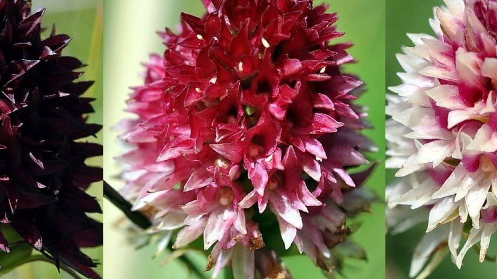Wegen ihres intensiven Dufts nach Vanille heisst das «Schwarze Kohlröschen» auch Alpenvanille. Die rote Variante scheint der schwarz-purpurnen in mancher Hinsicht überlegen.