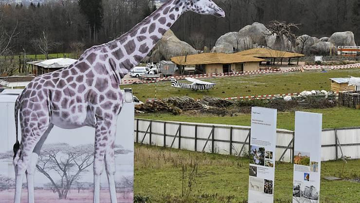 Die Giraffen befinden sich zwar schon im Zoo, allerdings noch in Quarantäne. Im Hintergrund die Lewa Savanne.
