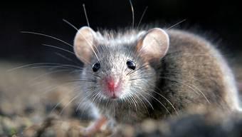 Wie eine Maus aus der Falle entkommt – sechs Mal.