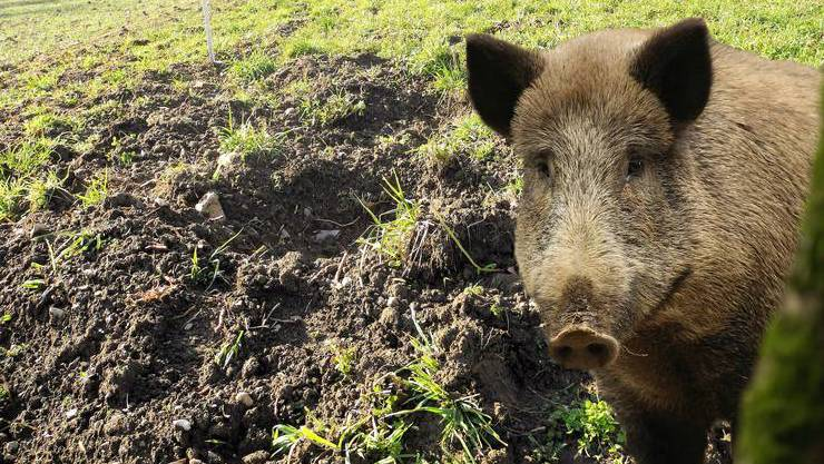 Wildschweine hinterlassen vielerorts Spuren. (Montage)