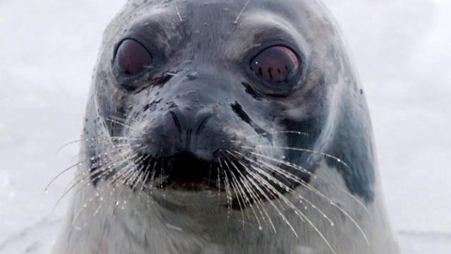 Der Nationalrat hat ein Herz für Robben (Archiv)
