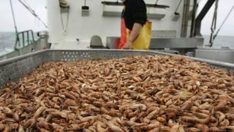 Zwangspause für deutsche Krabbenfischer (Archiv)