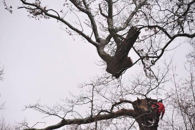 Stück um Stück werden die Bäume weggeflogen.