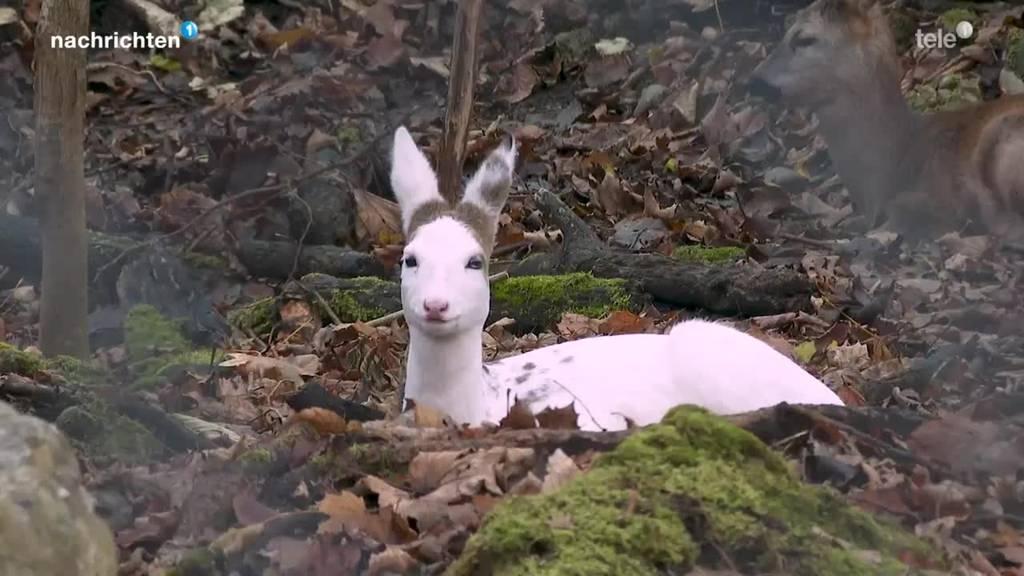 Weisses Reh im Tierpark Goldau zu Gast