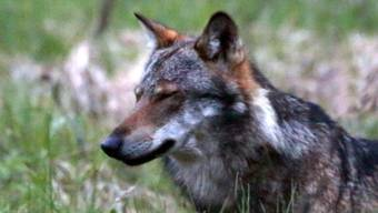 Im Wallis hat sich die Zahl der nachgewiesenen Wölfe seit einem Jahr von fünf auf zehn verdoppelt. Hier ein Wolf bei Bellwald im Obergoms im Frühling 2013. (Archiv)