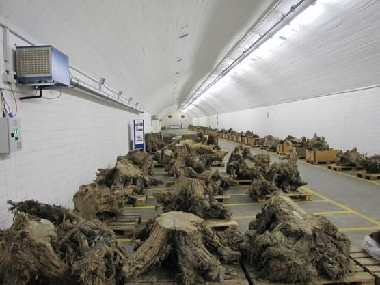 Im neuen WSL Lager, einem ehemaligen Militärbunker, werden über 200 Wurzelstöcke subfossiler Kiefern bei konstanter Luftfeuchtigkeit und Temperatur gelagert
