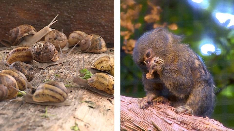 Schnecken-Zucht / Der kleinste Affe der Welt