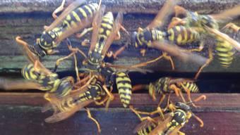 Viele Wespen suchen zurzeit die Entsorgungsstelle auf. (Symbolbild)