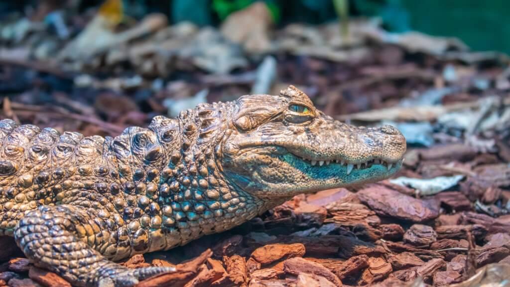 Krokodile im Zoo Zürich: Bald könnte Nachwuchs kommen